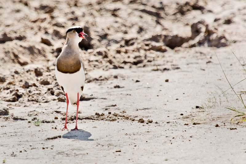 large_Plover__Crowned_5-11.jpg