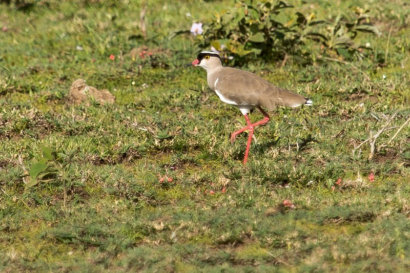 large_Plover__Crowned_7-11.jpg