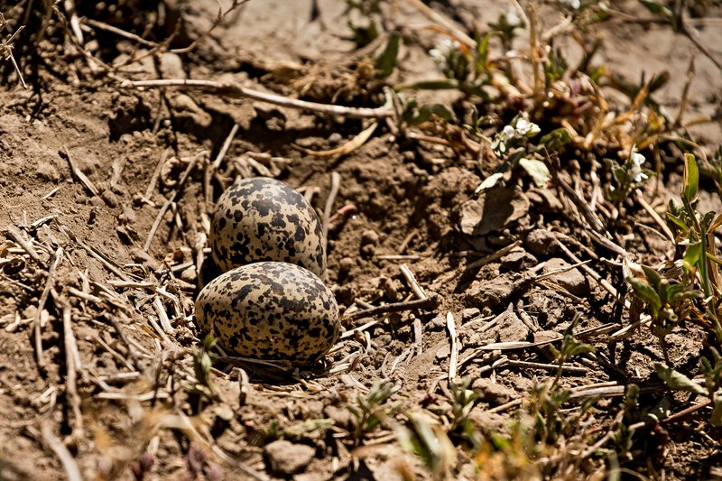 large_Plover__Crowned_Eggs_1.jpg