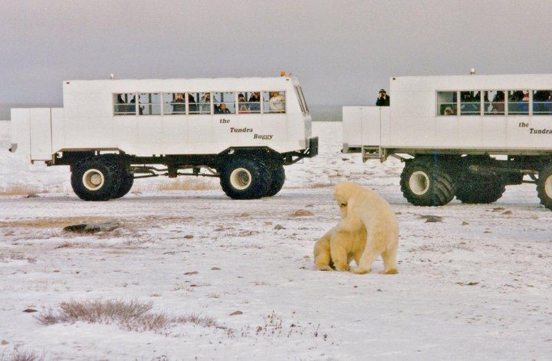 large_Polar_Bears___t_____109.jpg