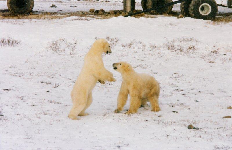large_Polar_Bears___t_____110.jpg