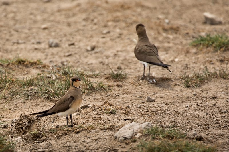 large_Pratincole__Common_1.jpg