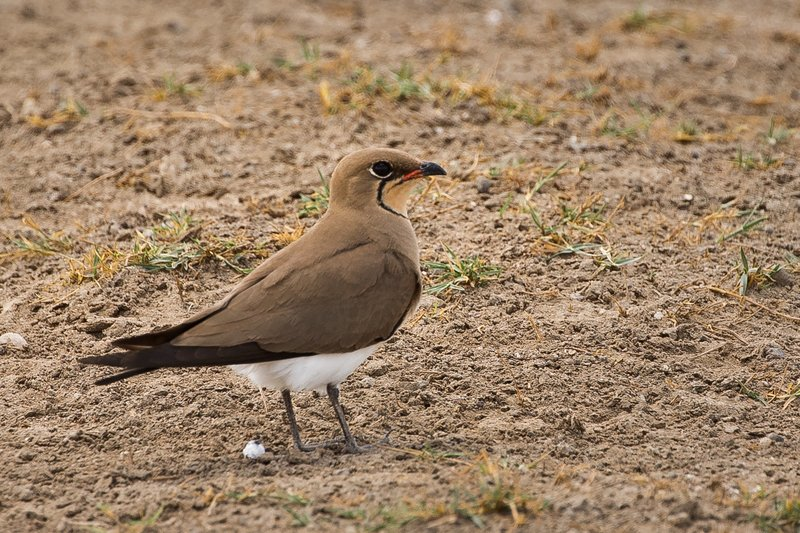 large_Pratincole__Common_4.jpg