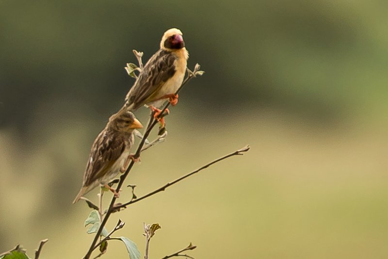 large_Quelea__Red_Billed_10.jpg