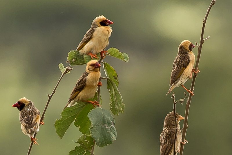 large_Quelea__Red_Billed_4.jpg