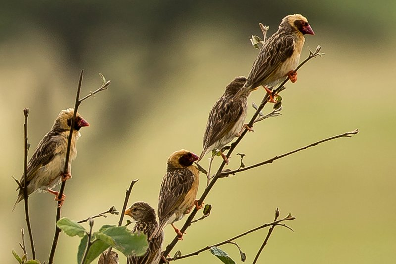large_Quelea__Red_Billed_5.jpg