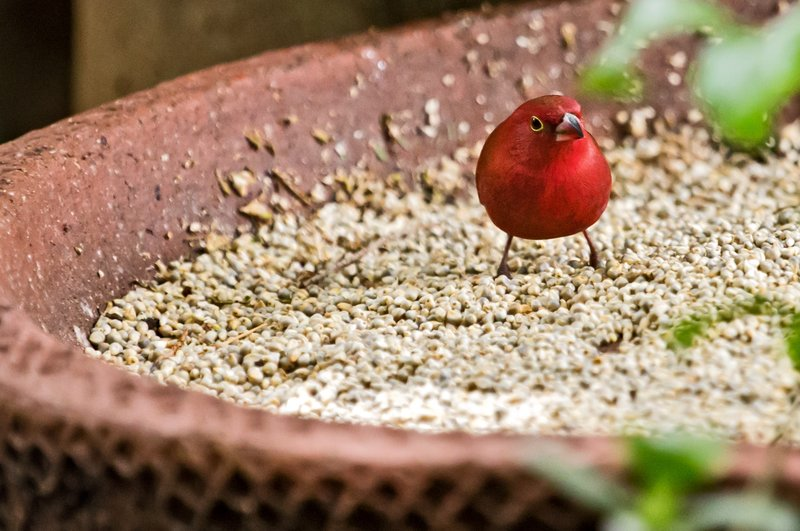 large_Red_Billed_Firefinch_4.jpg