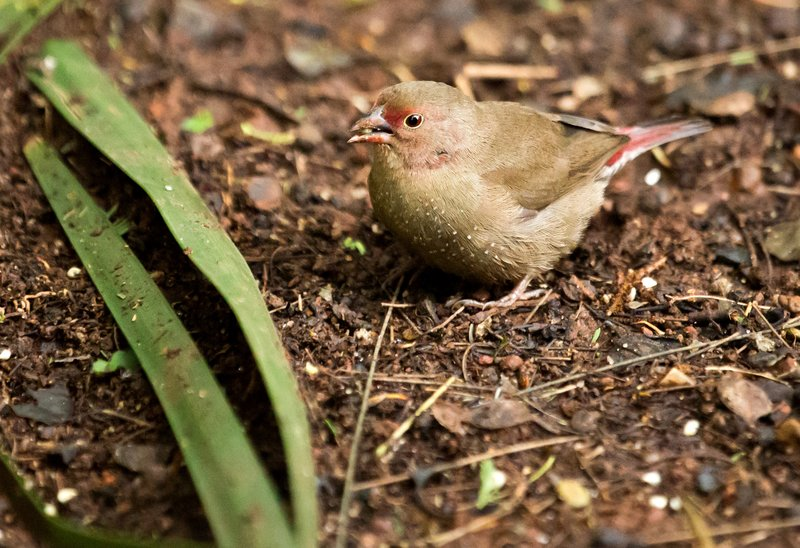 large_Red_Billed_Firefinch_6.jpg