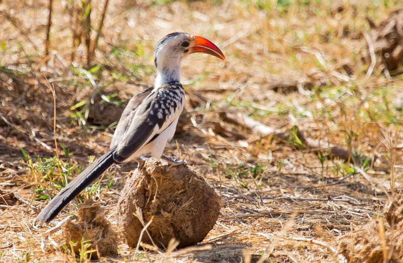 large_Red_Billed_Hornbill_22.jpg