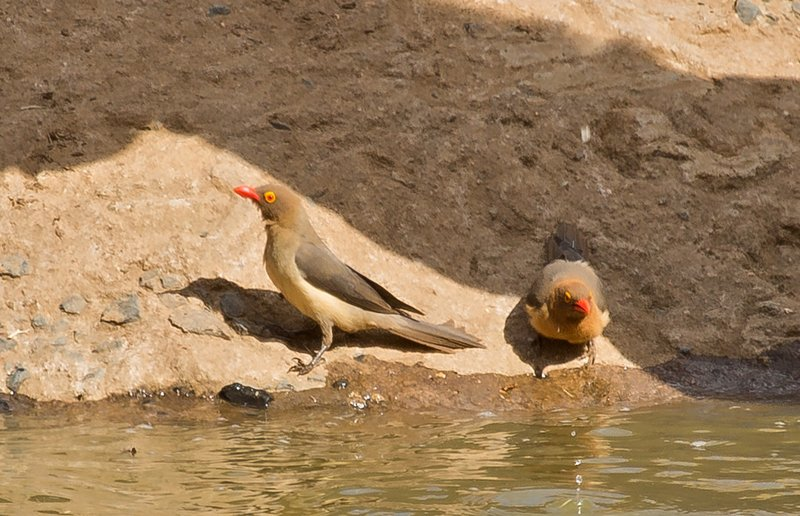 large_Red_Billed_Oxpeckers_3.jpg
