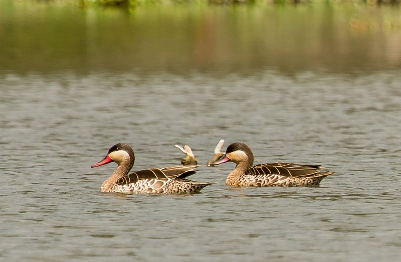 large_Red_Billed_Teal_1.jpg