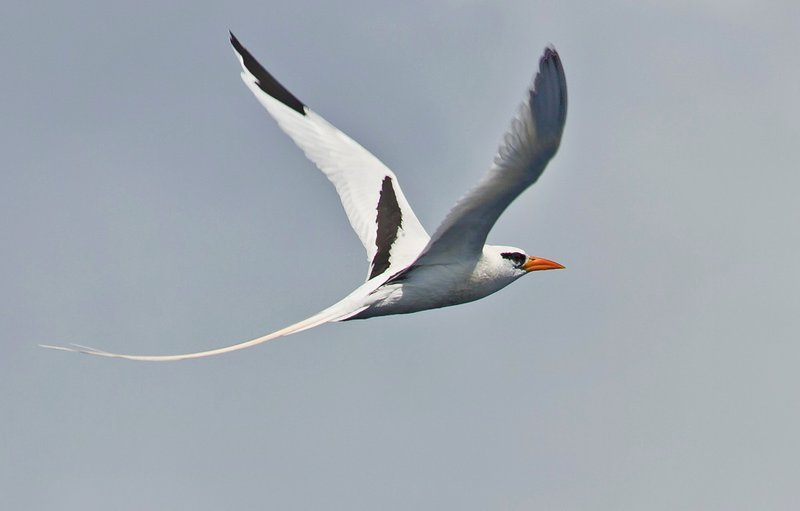 large_Red_Billed_Tropicbird_4.jpg