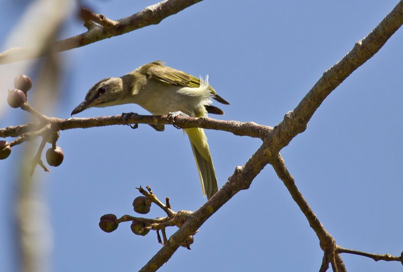 large_Red_Eyed_Vireo_1.jpg