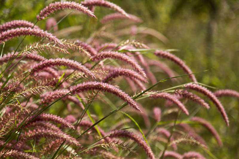 large_Red_Grasses_1.jpg