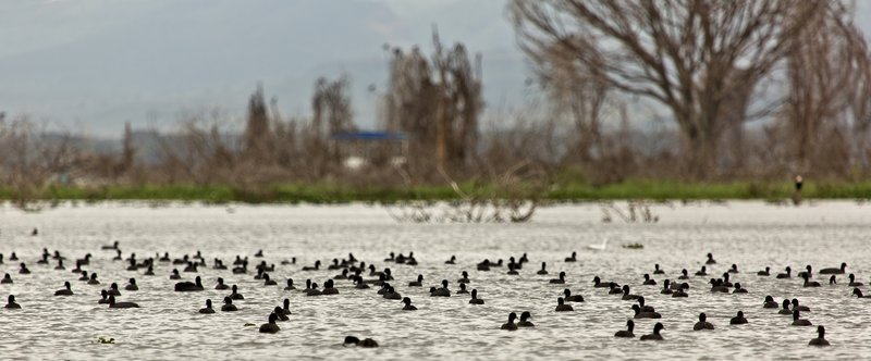 large_Red_Knobbed_Coots_4.jpg