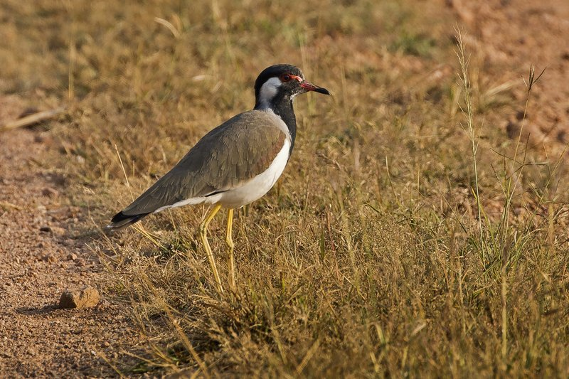 large_Red_Wattled_Lapwing_11.jpg