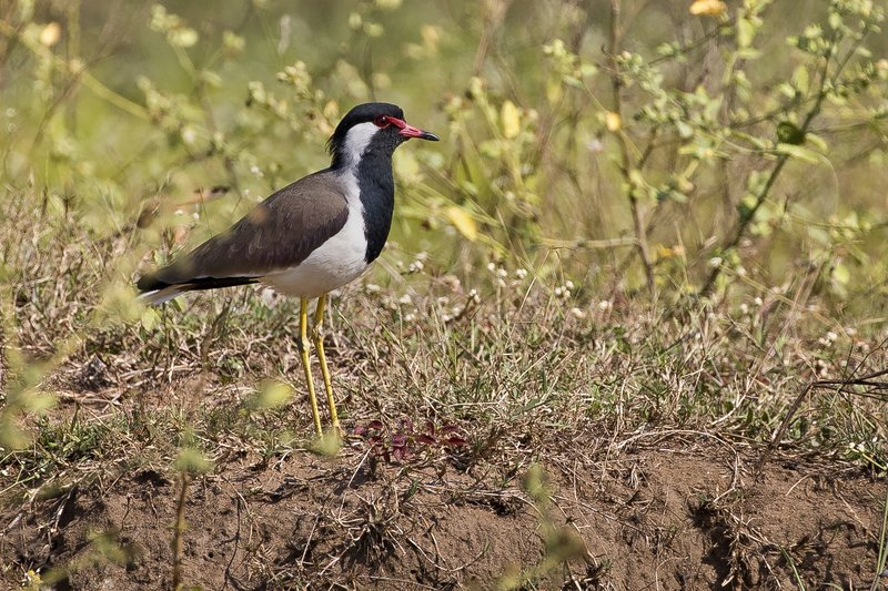 large_Red_Wattled_Lapwing_51.jpg