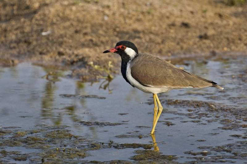 large_Red_Wattled_Lapwing_61.jpg