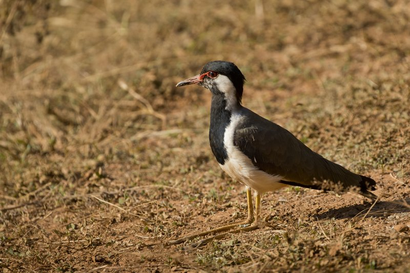 large_Red_Wattled_Lapwing_91.jpg