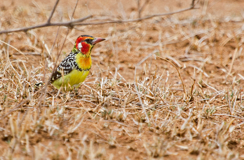 large_Red_and_Yellow_Barbet_1.jpg