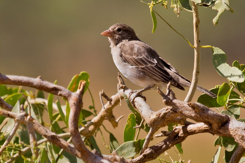 large_Reichard_s_seedeater_1.jpg