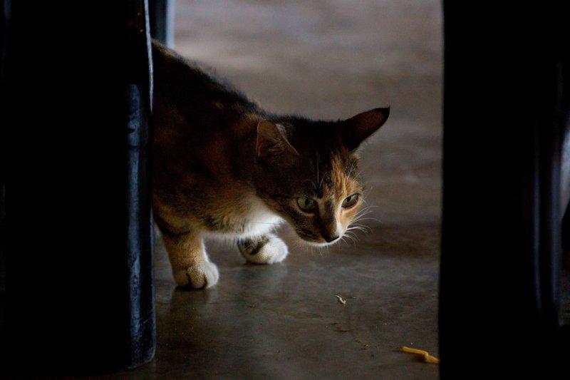 large_Resident_Cat_2.jpg