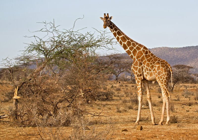 large_Reticulated_Giraffe_3.jpg