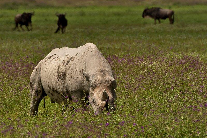 large_Rhino_35.jpg