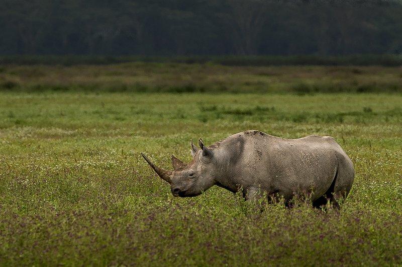 large_Rhino__Black_1.jpg