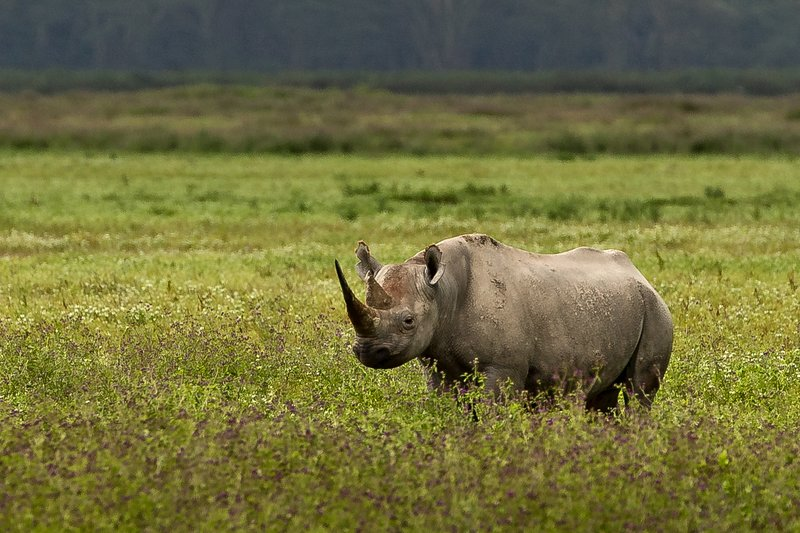 large_Rhino__Black_2.jpg