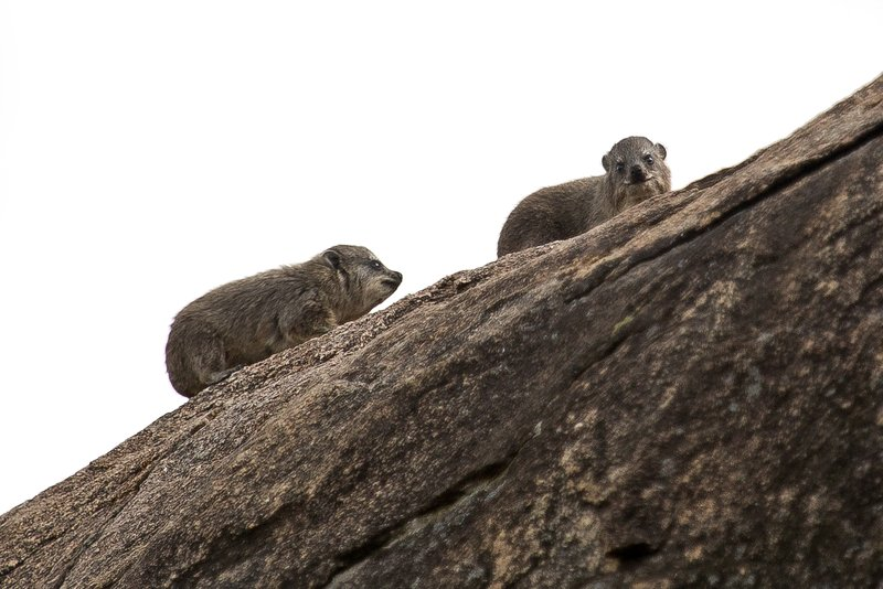 large_Rock_Hyrax_11-101.jpg