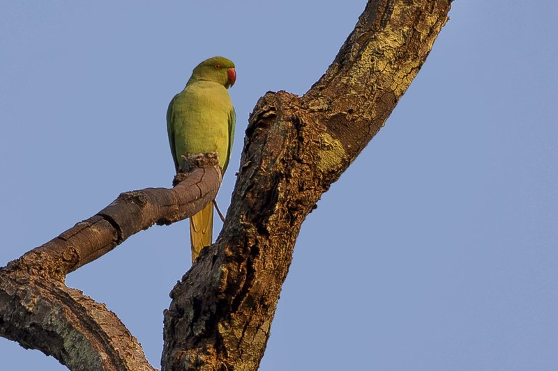 large_Rose_Ringed_Parakeet_21.jpg