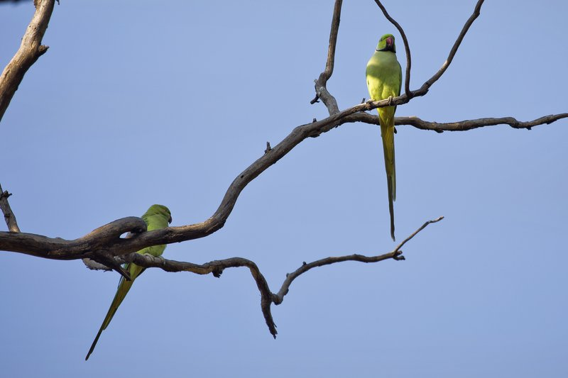 large_Rose_Ringed_Parakeets_91.jpg