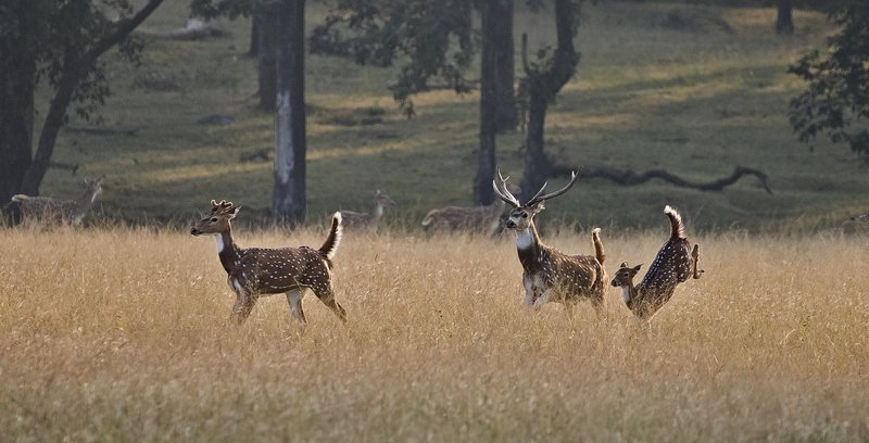 large_Running_Chital_61.jpg