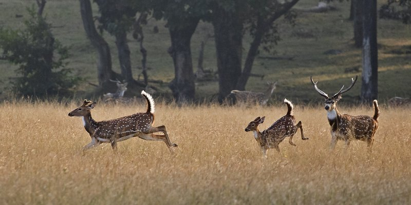 large_Running_Chital_63.jpg