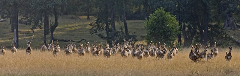 large_Running_Chital_66.jpg