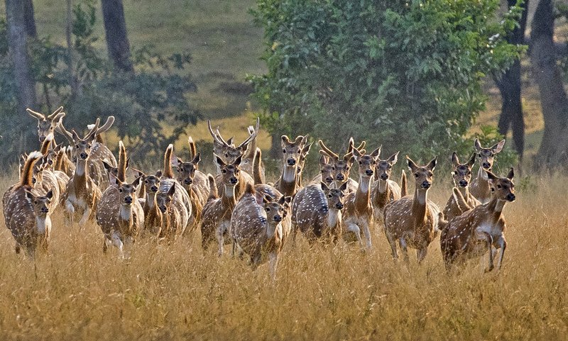 large_Running_Chital_68.jpg