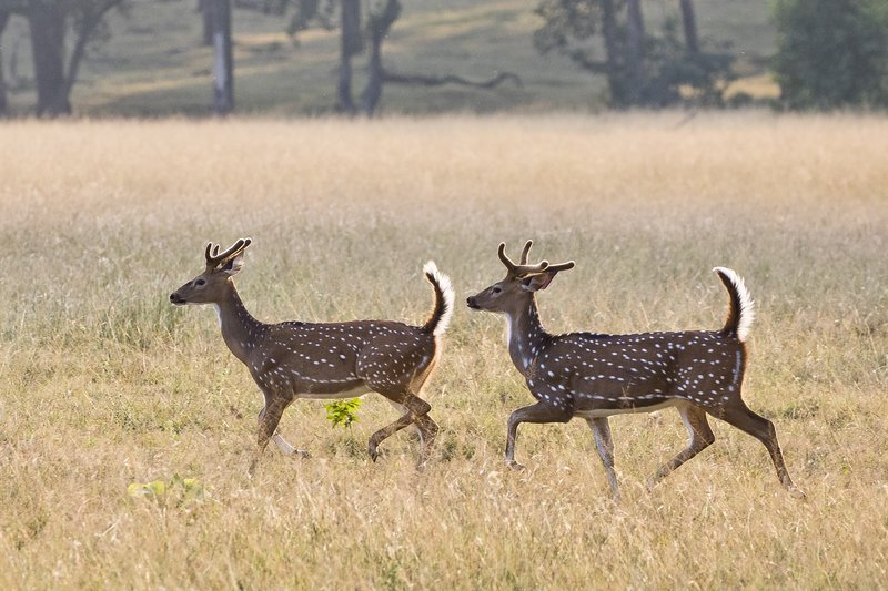 large_Running_Chital_77.jpg