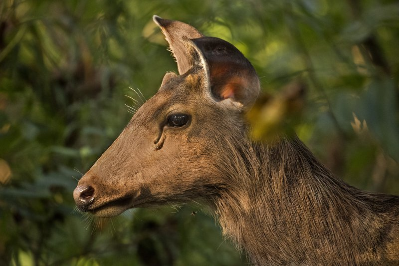 large_Sambar_Deer_5.jpg