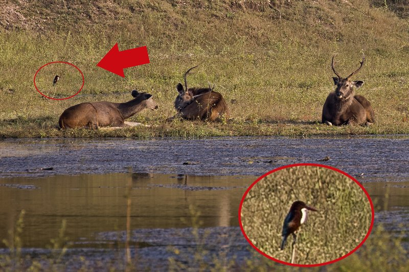 large_Sambar_with_Kingfisher_61.jpg
