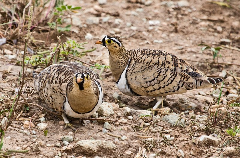 large_Sandgrouse.._faced_5-10.jpg