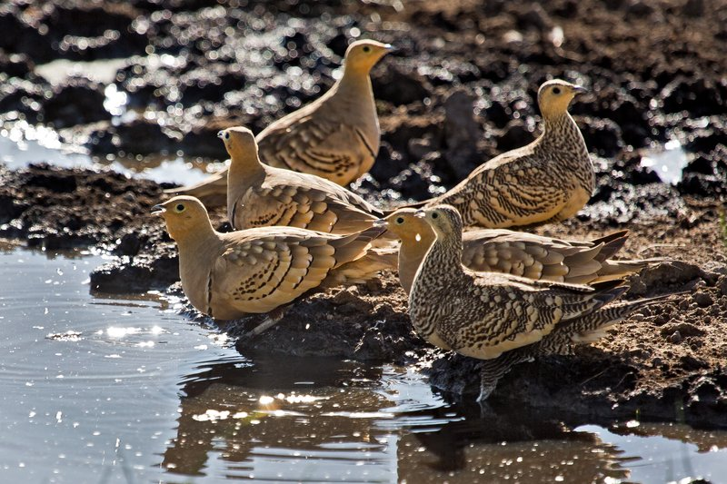 large_Sandgrouse..hroated_8-1.jpg