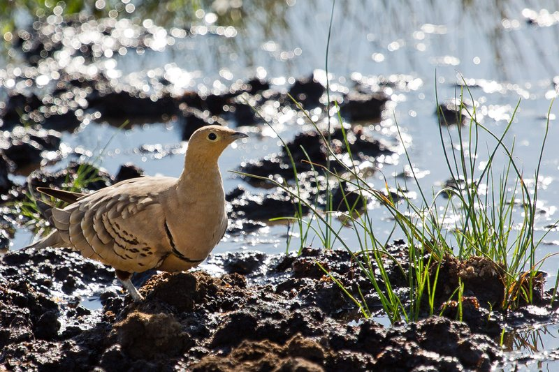 large_Sandgrouse..hroated_8-3.jpg