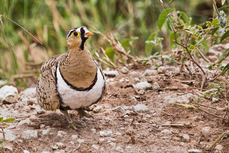 large_Sandgrouse..k_faced_5-7.jpg