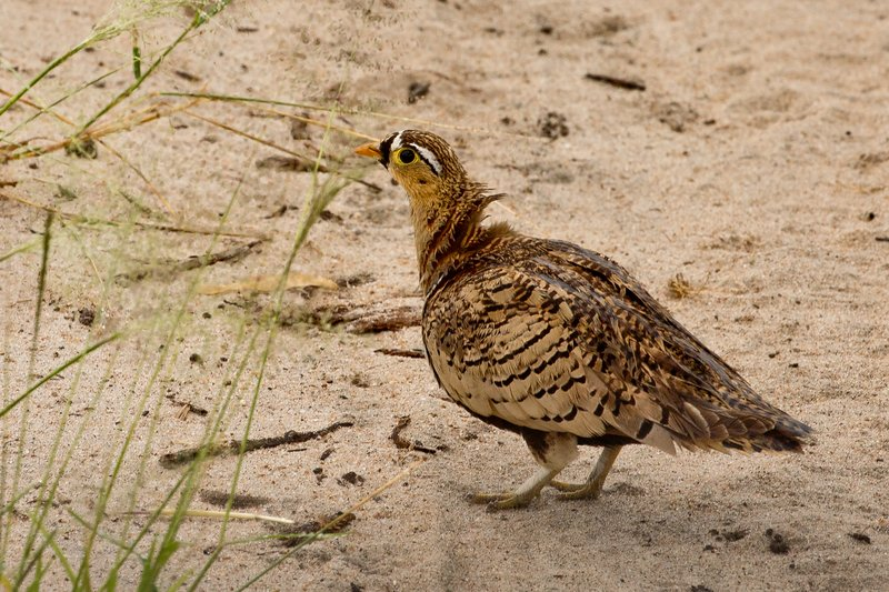 large_Sandgrouse__Black_Faced_1.jpg