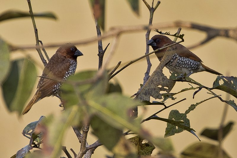 large_Scaly_Breasted_Munia_1.jpg