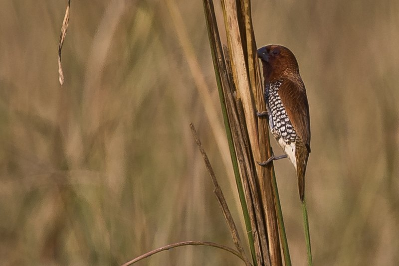 large_Scaly_Breasted_Munia_2.jpg