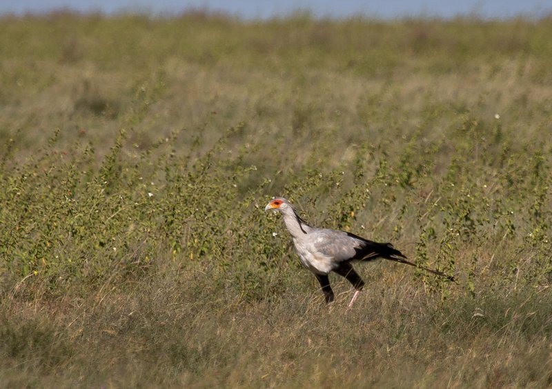 large_Secretary_Bird_12-1.jpg