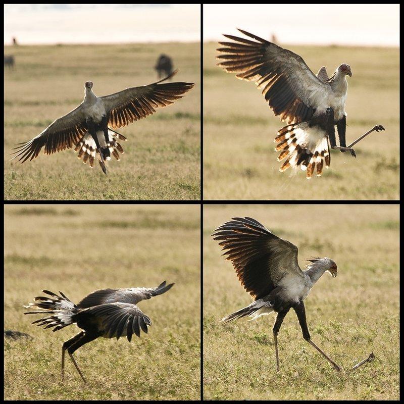 large_Secretary_Bird_15.jpg