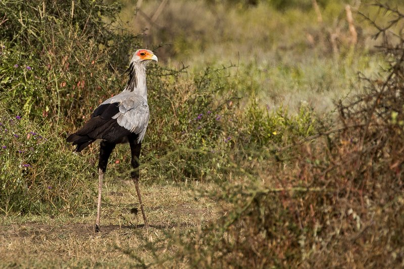 large_Secretary_Bird_42.jpg